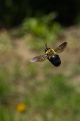 flight of the bumblebee (sr667) Tags: toronto on canada ca bumblebee bee flying animalia taxonomy:kingdom=animalia euarthropoda insecta hymenoptera apidae bombini ef100mmf28macrousm ef100mmf28macro canon