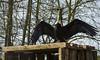 Andean condor (Tenebricosa27) Tags: animal wildlife zoo bird vulture condor
