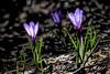 Lueur en sous bois (watbled05) Tags: macro fleurs feuille bokeh crocus