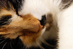 *** (donnicky) Tags: cat closeup cute dof face fur headshot home indoors light macro nopeople nose oneanimal pet publicsec relaxation selectivefocus лилу d850