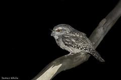 Tawny Frogmouth (Jims Wildlife) Tags: tawnyfrogmouth nocturnal bird podargusstrigoides australia