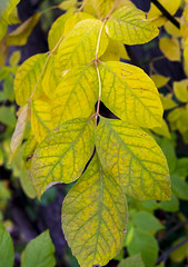 Starting to Turn (s.d.sea) Tags: enjoyillinois illinois chicago midwest fall summer autumn outdoors nature pentax k5iis leaves leaf branch harms woods change