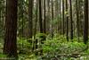 Sunlight in the spring woods (jon_spalding) Tags: forest woods woodlands ubcendowment pacificspirit sunlight dapple douglasfir trunks