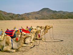 Camels - Desert - Egypt (Riccardo Ceci) Tags: camels desert egypt summer safari sun adventure