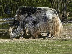 Zottelig (Helmut Reichelt) Tags: yak zottelig frühling april münchen zoo tierpark hellabrunn oberbayern bavaria deutschland germany panasonic lumix fz200 captureone11 dxophotolab