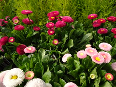 """""""Never wish them pain. That's not who you are. If they caused you pain, they must have pain inside. Wish them healing. That's what they need.""""  -   Najwa Zebian (Trinimusic2008 -blessings) Tags: trinimusic2008 judymeikle nature flowers gardencentre spring april 2018 toronto to ontario canada sonydschx80 torontostrongvigil lovewillwin torontostrong torontovigil"""