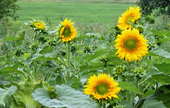 funlowers (Paul Millie) Tags: flowers fields summer beauty seeds yellow gardens