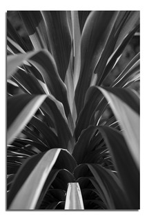 Yucca B&W