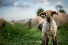 hello (Rafael Zenon Wagner) Tags: schaaf tier sheep beast bokeh dof 58mm 14