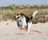 Lucky (LuckyMeyer) Tags: beach sylt nordsee beagle jagdhund run meer sea hund dog