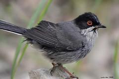 Tallarol capnegre (Enllasez - Enric LLaó) Tags: aves aus bird birds ocells pájaros tallarolcapnegre curruca lleida 2018 animalplanet