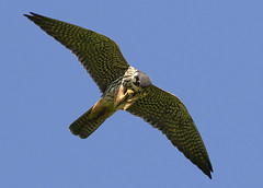 Hobby (falco subbuteo) (Steve Ashton Wildlife Images) Tags: falco subbuteo falcosubbuteo hobby falcon bird prey birdofprey raptor grove ferry groveferry stodmarsh kent