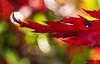 Dragonhead maple (Ian@NZFlickr) Tags: maple leaf dragon glanfalloch gardens peninsula dunedin nz