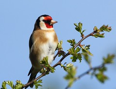 Goldfinch - In the early morning sunshine (glostopcat) Tags: goldfinch finch bird songbird spring glos