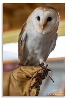 'Ossian', the Barn Owl, Highland Safari's, Aberfeldy, Scotland