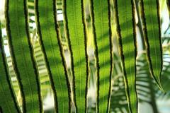 fern room (capnadequate) Tags: comopark park stpaul minnesota greenhouse plant conservatory fern frond spores naturallight