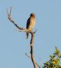 Red-shouldered Hawk (Buteo lineatus); Fort Meyers, Florida, Bunche Beach [Lou Feltz] (deserttoad) Tags: nature water animal park florida bird wildbird swamp beach raptor hawk buteo behavior