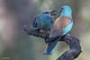 Carraca europea - III (Sento74) Tags: carracaeuropea coraciasgarrulus aves birds fauna nikond500 tamron150600g2