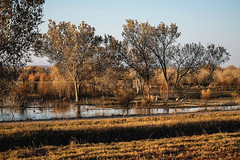 Golden Hour at the Bosque (San Francisco Gal) Tags: bosquedelapache newmexico nm nationalwildlifereserve sandhillcrane bird water tree goldenhour ngc npc