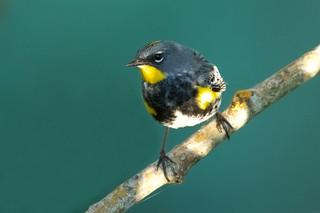 Yellow rumped warbler (Audubon's), male