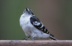 Downy Woodpecker (Laura Erickson) Tags: downywoodpecker picidae wisconsin birds trempealeau judybautchshouse species places piciformes picoidespubescens
