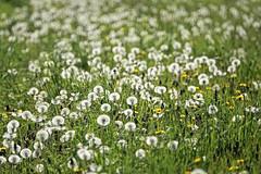 Globes Of Life (Deepgreen2009) Tags: dandelions plants weeds heads globes delicate mass flora grass