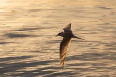 The Common Tern (Bunaro) Tags: sterna hirundo common tern kalatiira uutela vuosaari helsinki suomi finland bird hunting fish sunset summer evening golden wings nature fauna
