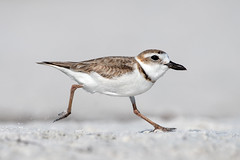 Full Gallop (PeterBrannon) Tags: beach bird charadriuswilsonia florida gulf nature pinellascounty sand shorebird tampa wildlife wilsonsplover ocean plover
