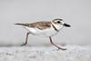 Full Gallop (PeterBrannon) Tags: beach bird charadriuswilsonia florida gulf nature pinellascounty sand shorebird tampa wildlife wilsonsplover ocean plover