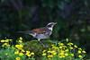 斑點鶇 Dusky Thrush (UG Tsai) Tags: birds 鳥 動物