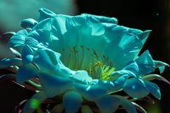 Echinopsis Bloom (Carl Cohen_Pics) Tags: echinopsis bloom flower flora floweringcactus cactus canon canon7dmarkii chandler arizona nature naturephotography sigma sigmaapo150500mmf563apodgoshsm spring fluer flor blume