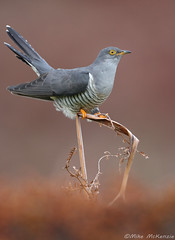 Cuckoo (Mike Mckenzie8) Tags: cuculus canorus british uk wild wildlife bird bracken dawn sunrise heather moorland parasitic migrant