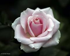 Rose Pink (rumerbob) Tags: rose pinkrose flower floral flowergarden fauna macro macroflower macrophotography botany botanicalgardens botanical nature naturewatcher naturephotography canon7dmarkii c