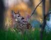Newborn (jmishefske) Tags: wehr nikon nature d500 center doe milwaukee franklin wildlife wisconsin 2018 whitnall whitetail fawn may deer park