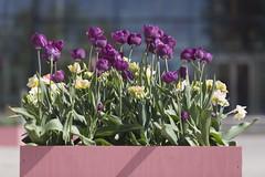 Tulip Benches (Steffe) Tags: tulpanfestival tulpaner tulips tulipfestival flowers handen haninge sweden summer