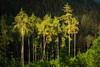 2018 The light (jeho75) Tags: sony ilce 7m2 g oss licht light evening abend harz mountans forest bäume trees