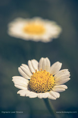 The word and the whisper (ILO DESIGNS) Tags: nature naturaleza metaphor fineart flora flowers flores wildlife closeup macro sunlight sunny spain sigma15028 d3300 meadow spring daisy margaritas marguerite wild dof