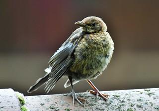 Jeune merle noir - Turdus merula - Young blackbird