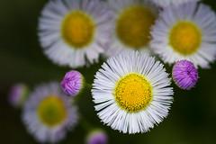 Fleabane Close (Modkuse) Tags: nikonfx nikonprime fleabane flowers wildflowers nature nikon nikondslr nikond700 nikkor 105mmf28nikkormacro nikonaf105mmf28nikkormacro 105mm macro macrophotography macrolens macroflowers nikonmacro
