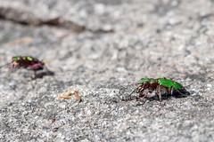 Gems on the Rock - _TNY_4597 (Calle Söderberg) Tags: macro canon canon5dmkii canonef100mmf28usmmacro canoneos5dmarkii 5d2 meike mk300 glassdiffusor insect cicindela campestris beetle tigerbeetle greentigerbeetle sandjägare grönsandjägare gem gems green emerald shiny beetles cicindelinae carabidae coleoptera jordlöpare iridescent metallic skalbagge f95