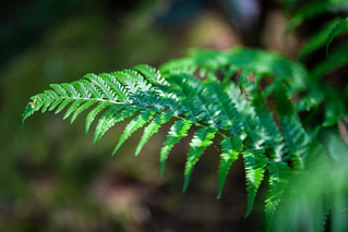 Bracken Frond in the sunlight