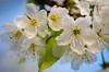 Cherry Blossom (Sean X. Liu) Tags: cherryblossom highpark spring nature flower macro closeup toronto ontario canada