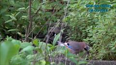Geais des chênes préparent leur nid F (Ezzo33) Tags: france gironde nouvelleaquitaine bordeaux ezzo33 nammour ezzat sony rx10m3 parc jardin oiseau oiseaux bird birds specanimal geai des chênes garrulus glandarius
