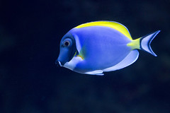 Powder Blue Tang (San Diego Shooter) Tags: fish tang sandiego powderbluetang