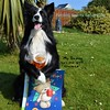 Fetching a Beer for Father's Day (ASHA THE BORDER COLLiE) Tags: fathers day funny picture card beer asha star county down