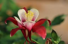 Ancolie, Aquilegia (francepar95) Tags: ancolie aquilegia fleur floraison vivace printemps rouge forme délicate nature bicolore flower spring flowering red