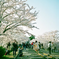 "Busy morning (Saori_) Tags: rolleiflex film ""middiumformat"" kyoto 120film ""cherryblossom"" 京都 桜 ローライフレックス フィルム"