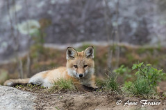 Red Fox kit (Anne Marie Fraser) Tags: redfox foxkit kit fox baby nature wildlife cute pretty redfoxkit animal mammal grass rocks