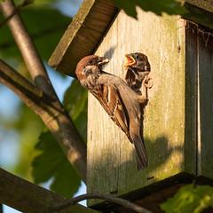 Tree Sparrows (Mister Oy) Tags: davegreen oyphotos ©oyphotos bird wildlife nature tree sparrow feeding young baby parenting nestbox rspb fujixpro2 fuji50140mmf28