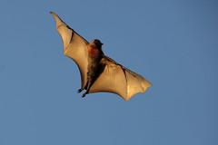 grey-headed flying fox 2 (GTV6FLETCH) Tags: pteropus poliocephalusgrey headed flying foxfruit batflying foxcanoncanon 5dsrcanon eos 5dsr5dsr5dsr 5dsr canon150600mm f563 dg os hsm | csigma 150600mm c sigma